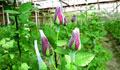 যশোরে ফুল চাষের নতুন সম্ভাবনার নাম 'লং স্টিক গোলাপ'