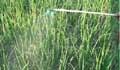দ্রুত তোলার আশায় কীটনাশক প্রয়োগ, ক্ষেতেই পচতেছে পেঁয়াজ