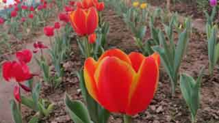Gazipur farmer strikes gold with Tulip farming