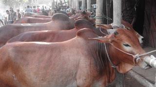 রাজধানীতে শনিবার থেকে বসছে কোরবানি পশুর হাট
