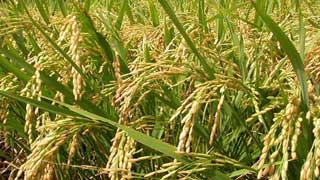 ধানের উৎপাদন বৃদ্ধির হারে শীর্ষে বাংলাদেশ