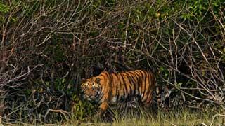 Sundarbans tigress wasn't killed by poachers: Investigators