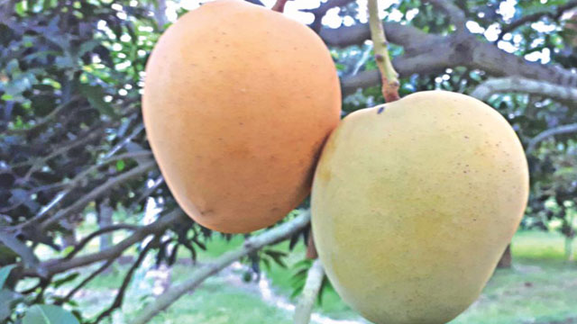 Khirshapat mango gets GI recognition